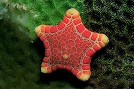 Invertebrados – Estrellas y Ofiuras