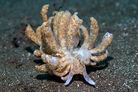 Nudibranquios - Aeolidacea