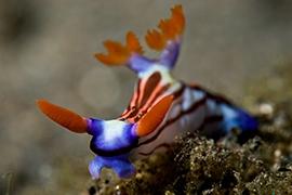 Nudibranquios - Polyceridae