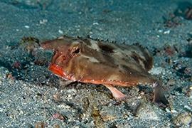 Peces - Murciélago de labios rojos