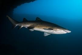 Tiburon Tigre de Arena