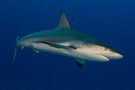 Tiburones - Arrecife del Caribe