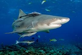 Tiburones - Limón