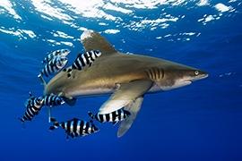 Tiburones - Puntas Blancas Oceánico