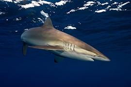 Tiburones - Sedoso