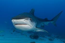 Tiburones - Tigre