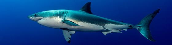 bg_tiburon_blanco