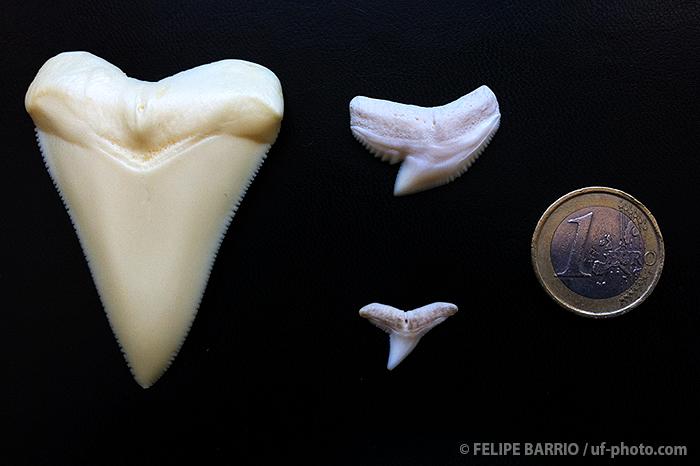 tiburon_blanco_dientes