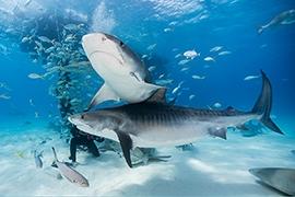 Bahamas - Tiger Beach