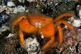 Crustáceos - Cangrejos