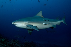 Fiji - Tiburones