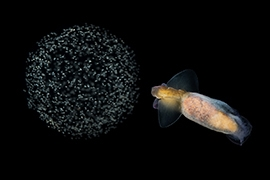 Invertebrados - Plancton