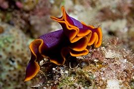 Invertebrados - Platelmintos