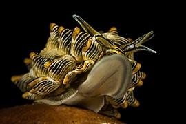 Opisthobranquios - Caliphyllidae