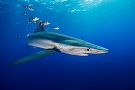 Tiburones - Azul