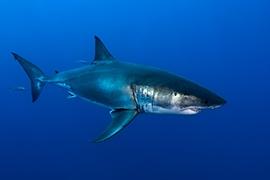 Tiburones - Blanco