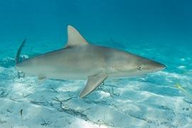 Tiburones - Carcharhinidae