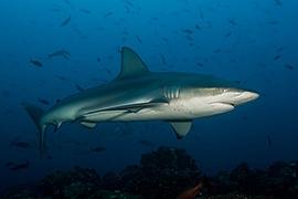 Tiburones - Galapagueño