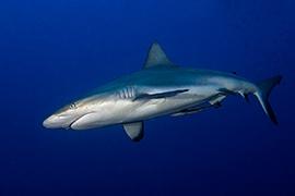 Tiburones - Gris