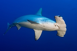 Tiburones - Martillo
