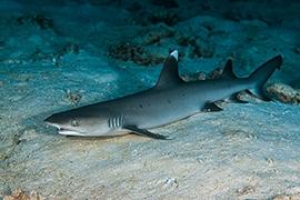 Tiburones - Puntas Blancas Arrecife