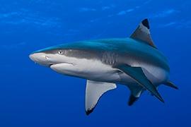 Tiburones - Puntas Negras Arrecife