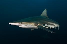 Tiburones - Puntas Negras Oceánico