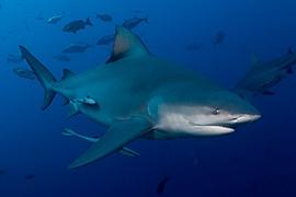 Tiburones - Toro